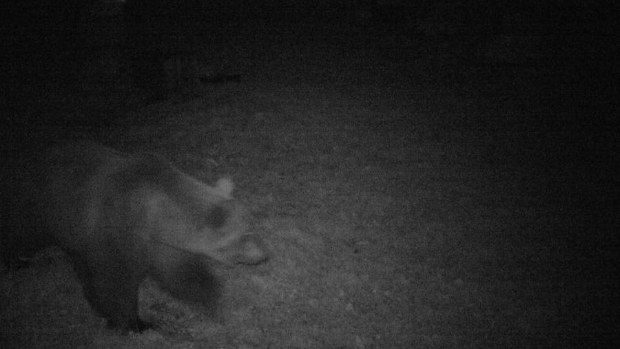 montereale:-orso-in-cerca-di-miele-avvistato-in-pieno-centro-abitato