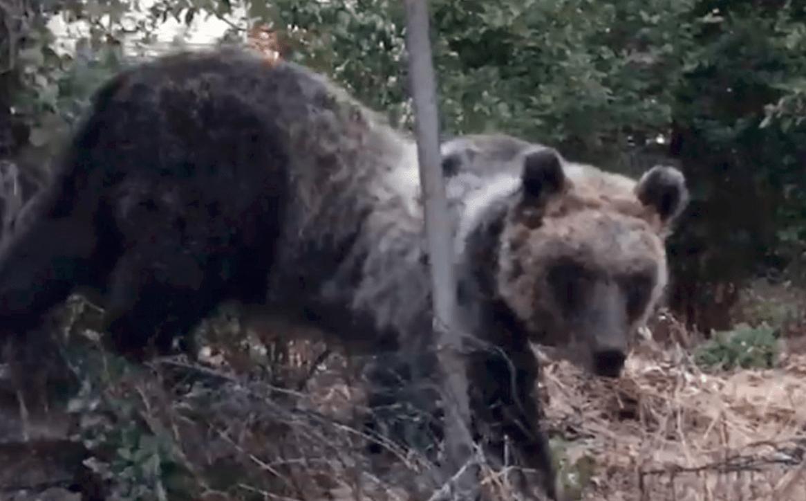 orsa-amarena-e-i-suoi-cuccioli-a-spasso-sull'autostrada-dei-parchi