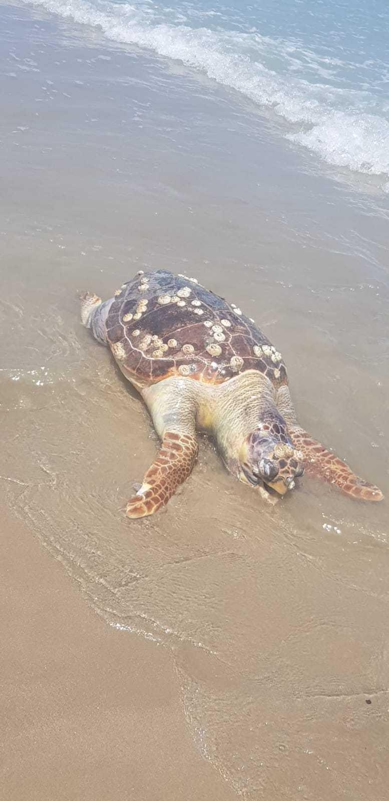 una-giovane-tartaruga-rinvenuta-morta-a-cologna-spiaggia