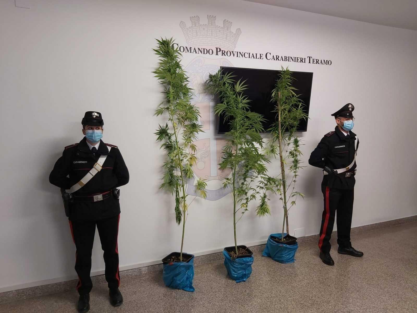 foto- -scovata-nelle-campagne-teramane-una-serra-con-piante-alte-oltre-due-metri:-sequestrati-oltre-260-grammi-di-marijuana.-arrestati-due-montoriesi
